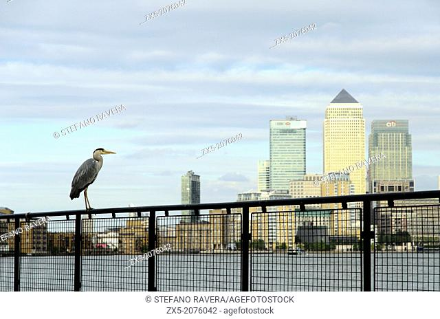 Grey Heron on the thames path and a view of Canary Wharf in the background - London, England