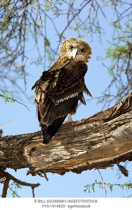 Bateleur Eagle - Samburu National Reserve, Kenya