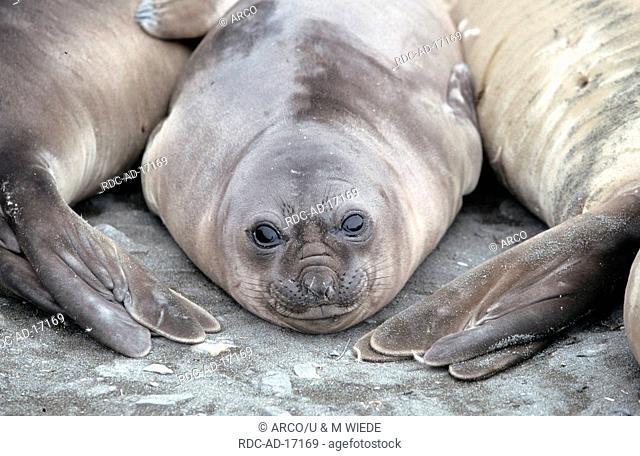 Southern Elephant Seal St Andrews Bay South Georgia Mirounga leonina
