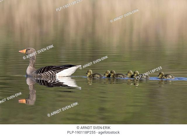 Greylag goose (Anser anser) father swimming with row of goslings / chicks behind him in lake in spring