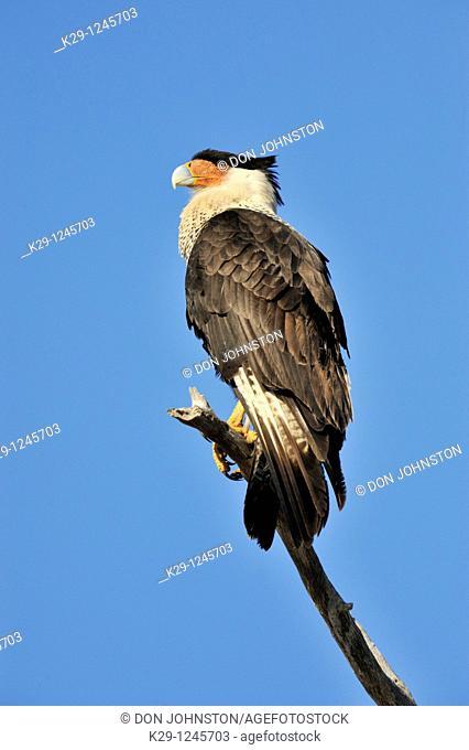Crested Caracara Caracara cheriway Sentinel near nest