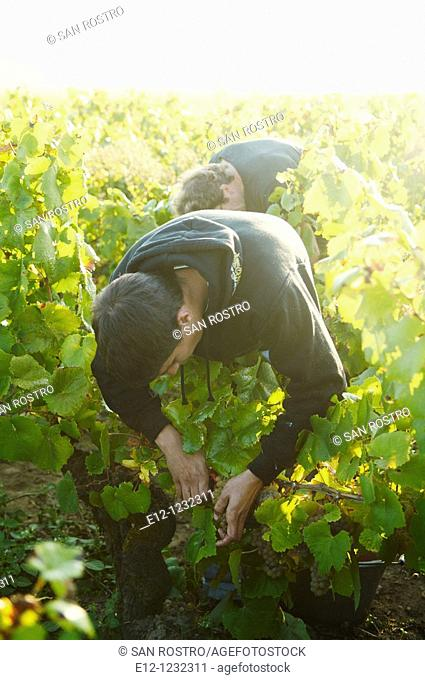 Vintage, Melon de Bourgogne white grapes, Joseph Landron's Domaine La Louveterie, Muscadet production area, Loire Valley, France