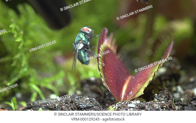 Greenbottle fly (Lucilia sericata) just managing to escape from a Venus flytrap (Dionaea muscipula). The Venus flytrap is a carnivorous plant that catches prey...
