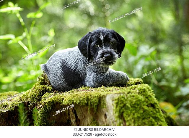 German Wirehaired Pointer. Puppy lying on a mossy tree stump. Germany