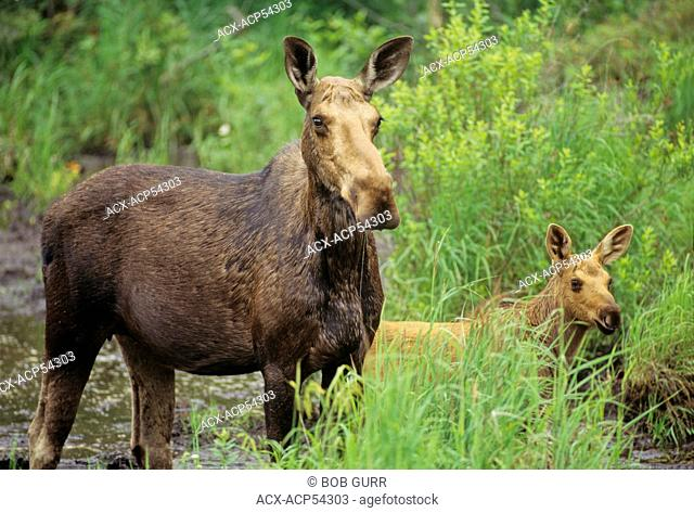 Moose, Alces alces, Female & Young, females with young are irritable and fiercely protective. Summer, Algonquin Provincial Park, Ontario, Canada