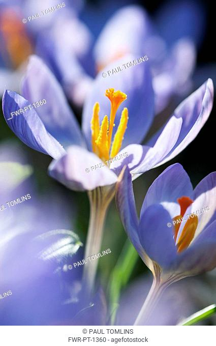 Crocus, Crocus etruscus 'Zwanenburg', Close side view of an open blue mauve flower among others, showing the orange stigma and pollen covered stamens