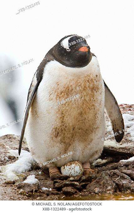 Adult gentoo penguins Pygoscelis papua nesting an egg on Petermann Island, Antarctica  There are an estimated 80,000 breeding gentoo penguin pairs in the...