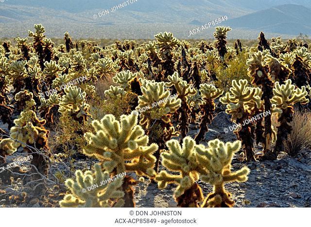 Cholla cacti at the Cholla Garden, Joshua Tree National Park, California, USA