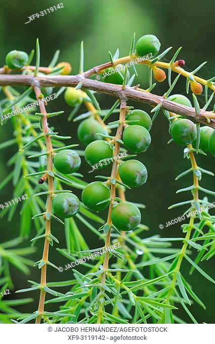 Juniper (Juniperus oxicedrus). Monfragüe National Park. Cáceres province. Extremadura. Spain