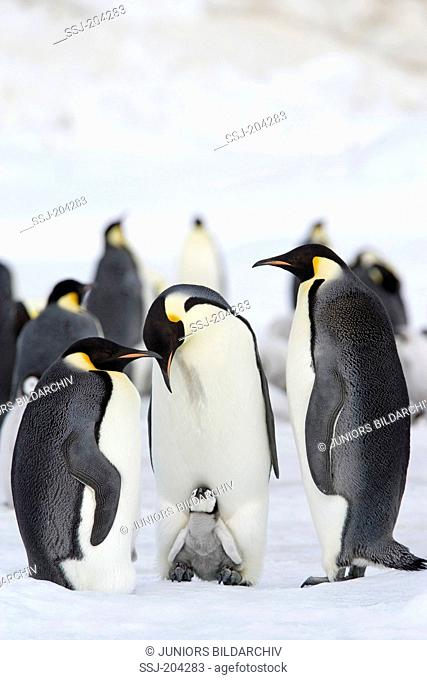 Emperor Penguin (Aptenodytes forsteri). Adult birds and chicks on ice. Snow Hill Island, Antarctica