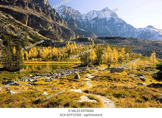 Larch Trees in Fall, Opabin Plateau, Lake O'Hara, Yoho National Park, British Columbia, Canada
