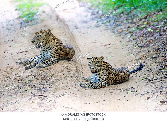 Sri Lanka, Northwest Coast of Sri Lanka, Wilpattu national patk, Sri Lankan Leopard Panthera pardus kotiya), pair