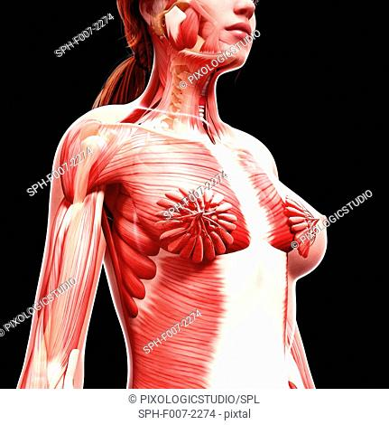 Female musculature, computer artwork