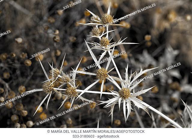 Dry thistle on autumn time in Avila. Spain