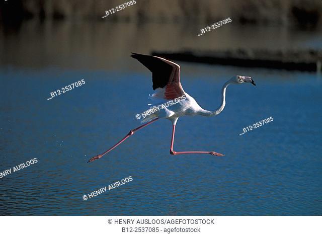Great Flamingo flying Phoenicopterus roseus, Camargue, France