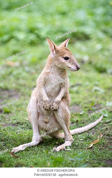 Six-month-old Monti the sandy wallaby enjoys his first communal dining experience with other wallabies in the kangaroo enclosure at Tierpark Friedrichsfelde zoo...