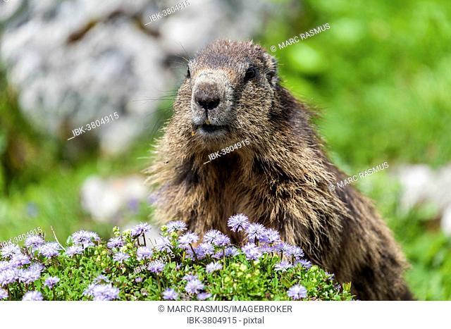 Alpine Marmot (Marmota marmota), State Land Salzburg, Austria