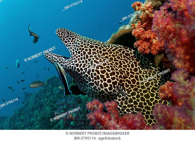 Honeycomb Moray (Gymnothorax favagineus), with open jaws, in a hole in the coral reef, soft corals, is cleaned by a Bluestreak Cleaner Wrasse (Labroides...