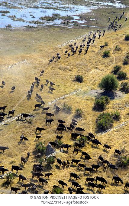 Aerial view of African buffalo or Cape buffalos group (Syncerus caffer), Okawango Delta, Botswana. The Okavango Delta is home to a rich array of wildlife
