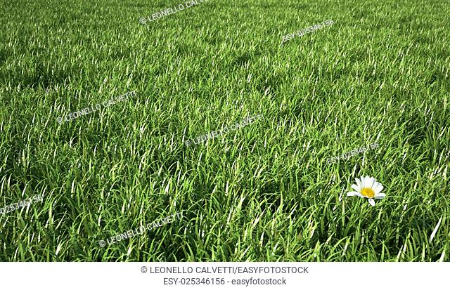 Isolated daisy flower, on a corner of the scene, in a very green grass meadow. Bird eye view