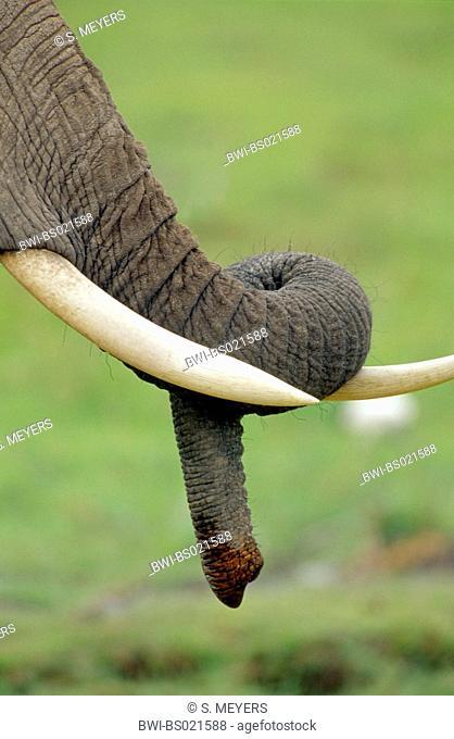 African elephant (Loxodonta africana), trunk and tusks, Kenya, Amboseli National Park