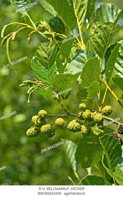common alder, black alder, European alder (Alnus glutinosa), branch with immature fruits, Germany