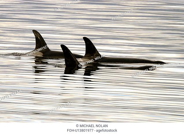 Orca Orcinus orca Pod surfacing calm waters Chatham Strait, southeast Alaska, USA