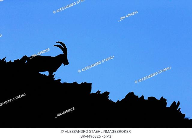 Alpine Ibex (Capra ibex) resting along mountain ridge, silhouette, Swiss Alps, Switzerland