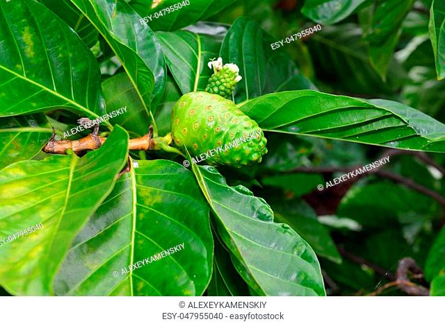 green noni fruit also known as Morinda citrifolia growing wild in Hawaii