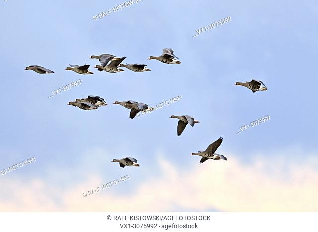 Greater White-fronted Geese ( Anser albifrons ), little flock, arctic winter guests, in flight against blue sky, wildlife, Europe