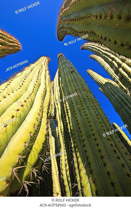 Organ Pipe cactus, Stenocereus thurberi, Organ Pipe National Monument, Arizona, USA
