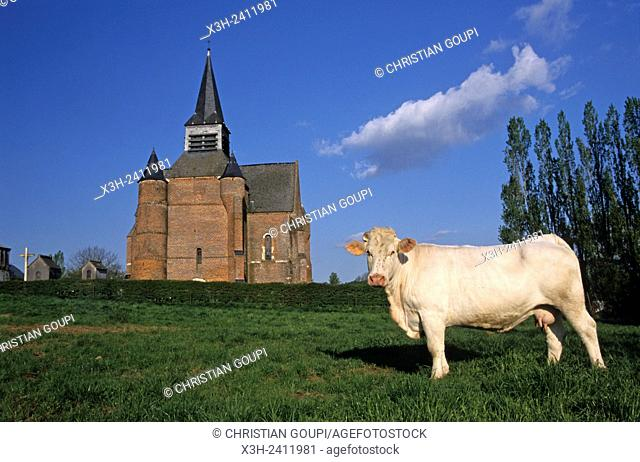 Charolais cow in front of the fortified church of Burelles in the Thierache region, Aisne department, Picardy region, northern France, Europe