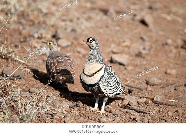 Lichtenstein's Sandgrouse (Pterocles lichtensteinii) male and female, Borana Ranch, Kenya