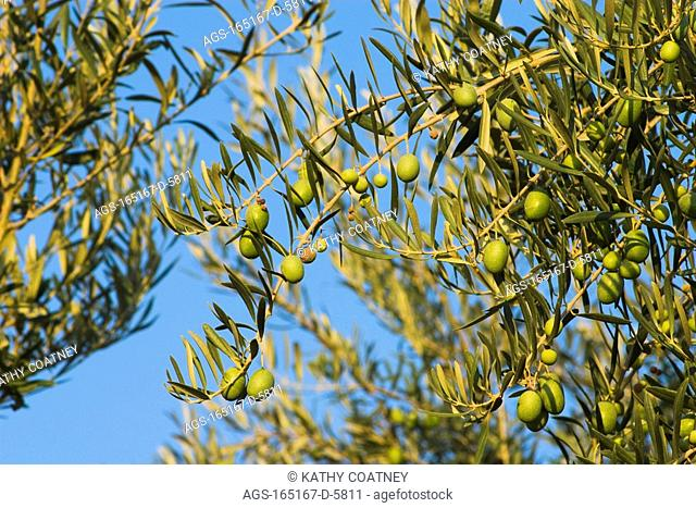Agriculture - Mature Sevillano brine cured table olives on the tree ready for harvest / Northern CA - Tehama County, nr. Corning