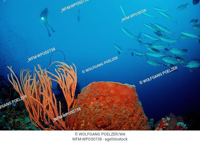 Scuba diver in coral reef, Xestospongia testudinaria Ellisella cercidia, Alor, Indonesia