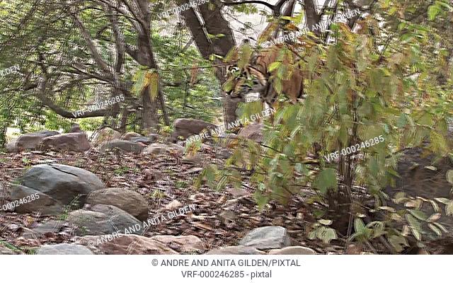 Bengal Tiger (Panthera tigris tigris) walking through forest of Ranthambhore N.P. India