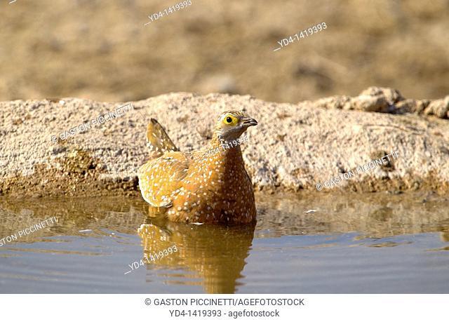 Namaqua Sandgrouse Pterocles namaqua - Female, Mabuasehube, Kgalagadi Transfrontier Park, Kalahari desert, Botswana