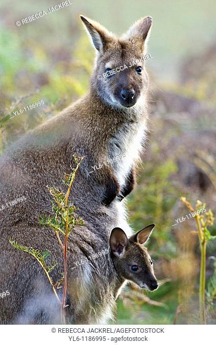 Australia, Tasmania, Port Sorell, Narawntapu National Park  Forester Kangaroo with Joey