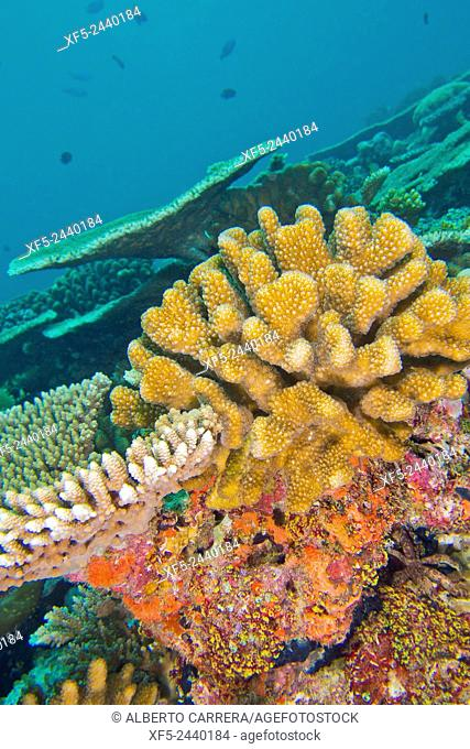 Coral Reef, Reef Building Coral, South Ari Atoll, Maldives, Indian Ocean, Asia