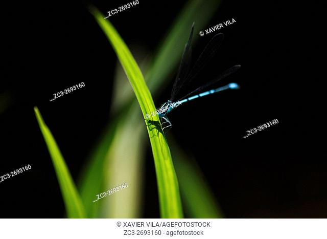 Dragonfly flying on a plant, Weatland, Isere, Auvergne Rhone Alpes, Chartreuse, France, Europe