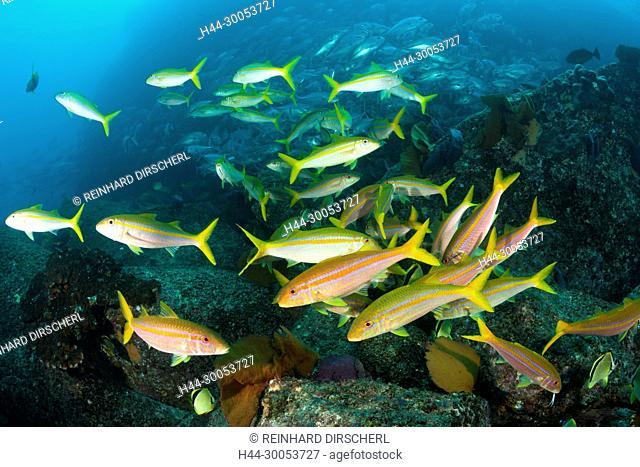Shoal of Mexican Goatfishes, Mulloidichthys dentatus, Cabo Pulmo, Baja California Sur, Mexico