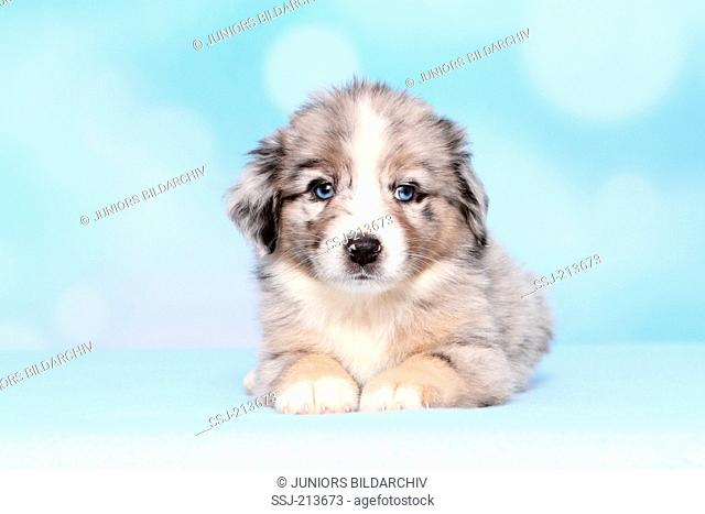 Miniature American Shepherd. Puppy (6 weeks old) lying. Studio picture against a blue background. Germany