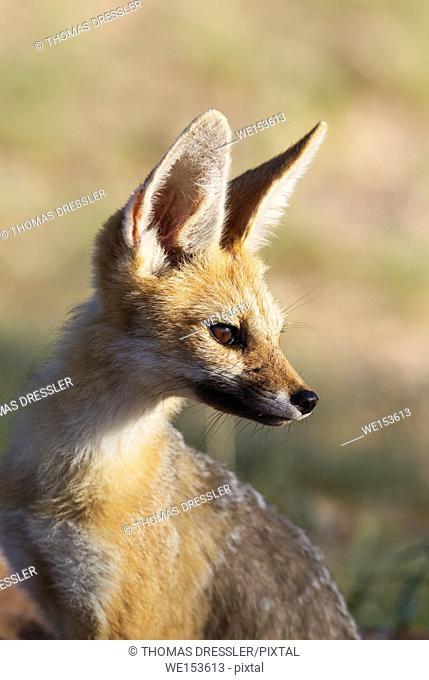 Cape Fox (Vulpes chama). Kalahari Desert, Kgalagadi Transfrontier Park, South Africa