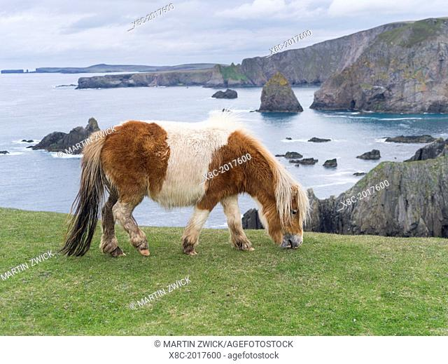 Shetland Pony on pasture near high cliffs on the Shetland Islands in Scotland. europe, central europe, northern europe, united kingdom, great britain, scotland