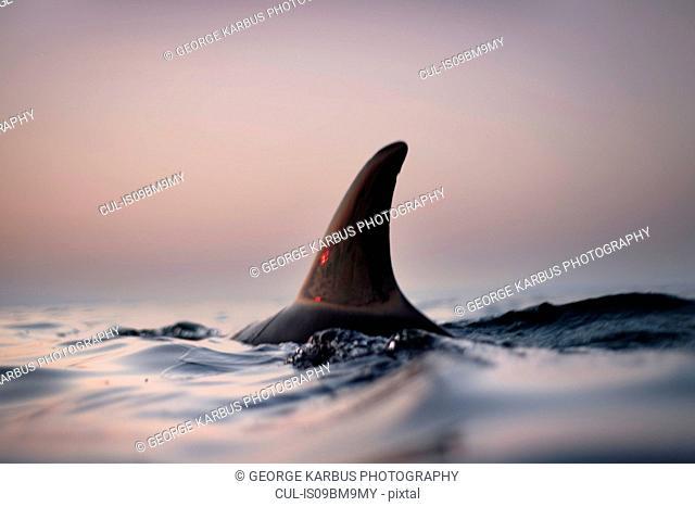 Fin of wild solitary Bottlenose Dolphin, Inishmore, Aran Islands, Ireland