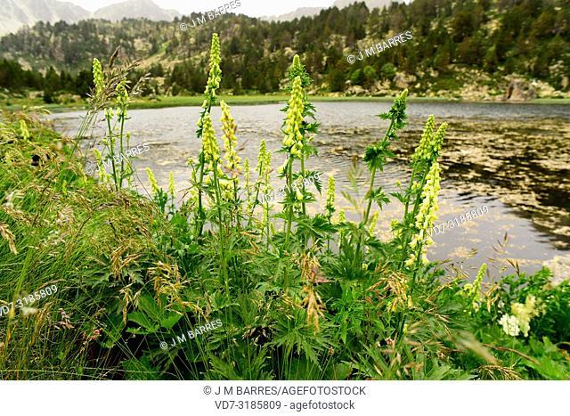 Wolfbane or aconito amarillo (Aconitum lycoctonum, Aconitum pyrenaicum or Aconitum vulparia) is a poisonous perennial herb native to Eurasia mountains