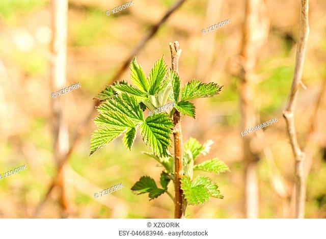 Raspberry branch with green leaves