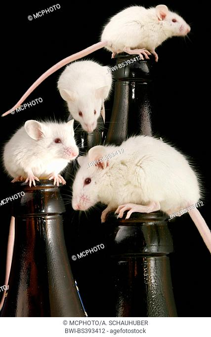 house mouse (Mus musculus), four white mice clambering about bottlenecks