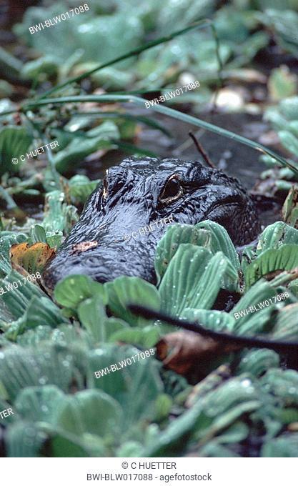 American alligator Alligator mississippiensis, Mrz 97
