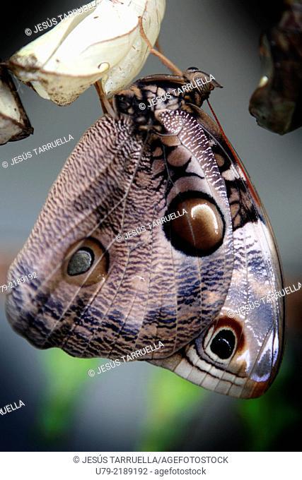 Owl Butterfly Caligo memnon; Butterfly of America